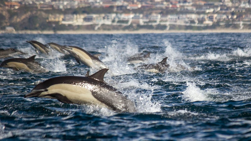 100,000 Dolphins Are Partying Without Us Off the Coast of California