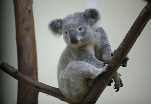 Australian Teen Crashes SUV Into Tree, Repeatedly, Attempting To Dislodge Koala