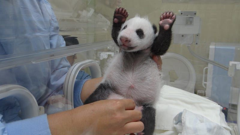 BRB, a baby panda with its hands up just slayed us with cuteness