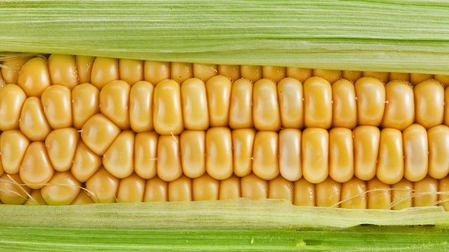 Controversial study linking genetically modified corn to cancer under attack by scientists