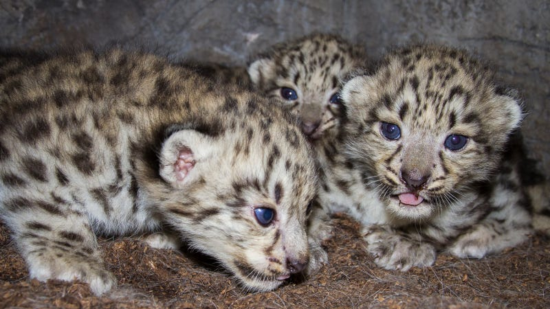 Watch these snow leopard cubs snuggle with their mom LIVE RIGHT NOW