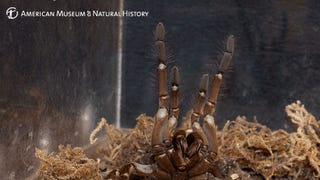 "Meet the ""Puppy-Sized"" Goliath Bird Eater Spider"