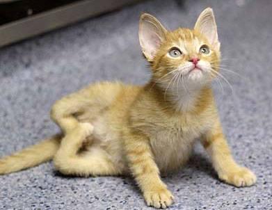 Kitteh cat born wiff backwards legs.