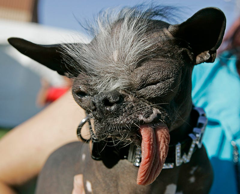 World's Ugliest Dog Too Good for This World, Is Now Running Heaven