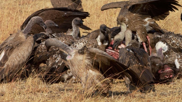 "Vultures ""skeletonize"" a human corpse. For science."