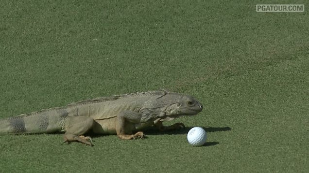 Iguana Decides He Does Not Want That Golf Ball After All