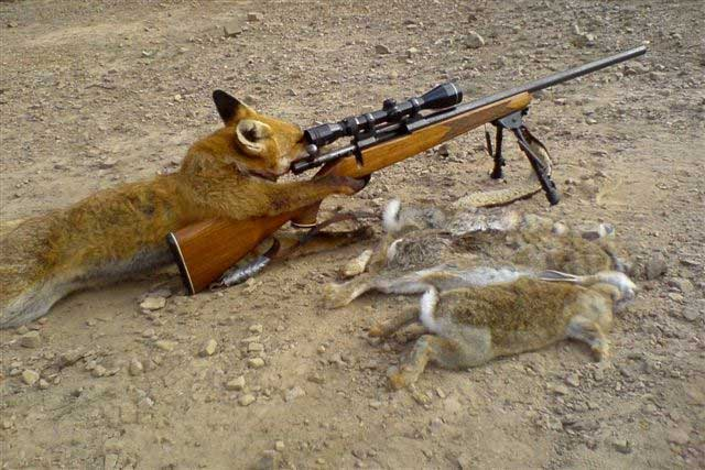 Hunter Becomes Hunted: A Fox Shoots a Man