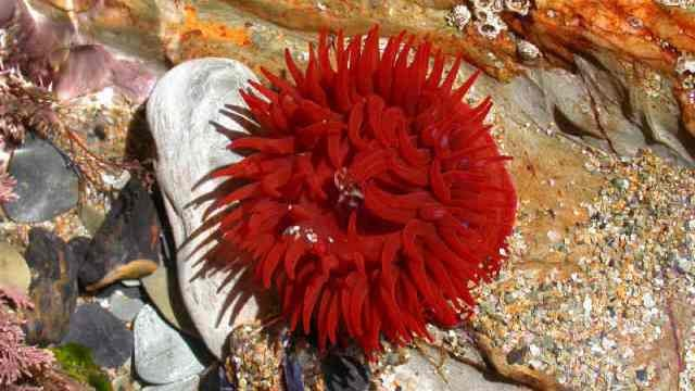 The beadlet anemone has a personality and makes complex decisions...all without a brain