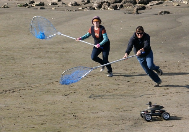Human People Chasing Robot Ducks With Silly Nets