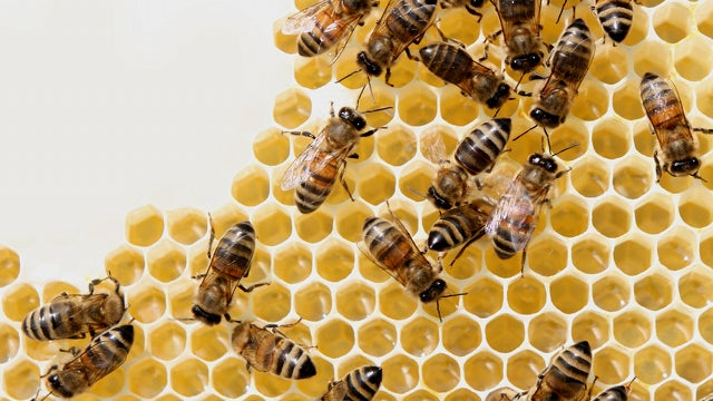 Honey bee apocalypse may not be caused by evil corporations after all
