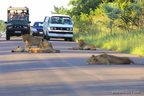 Apparently, In The Rock-Paper-Scissors Of Life, Lion Beats Car...