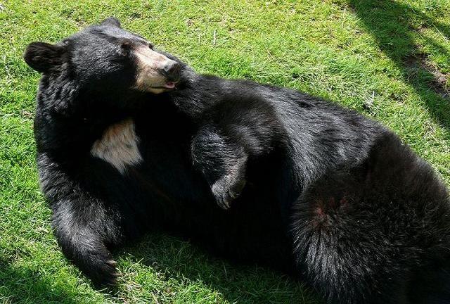 Sneak attacks from black bears baffle scientists