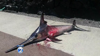 Fisherman Spears Swordfish, Swordfish Gores Fisherman
