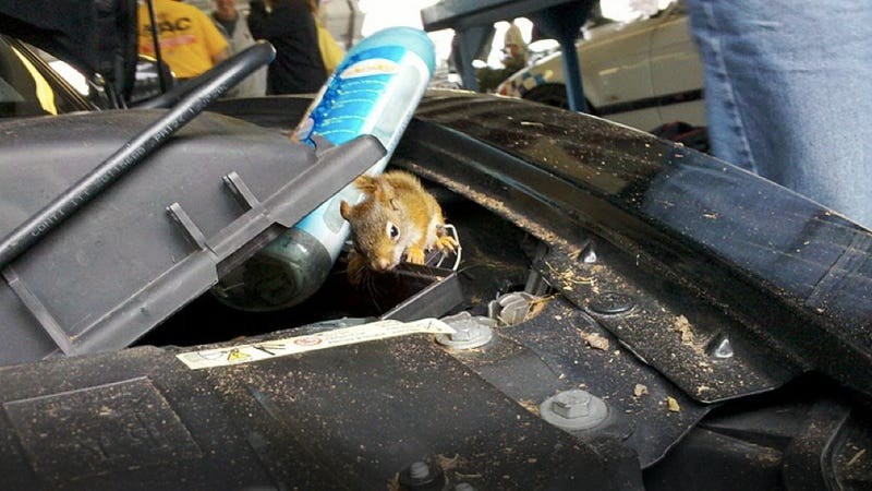 Six baby squirrels rescued from BMW engine after wild track run