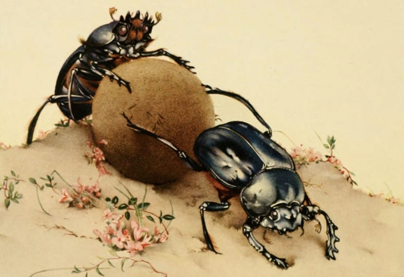 Two beautiful dung beetles in love