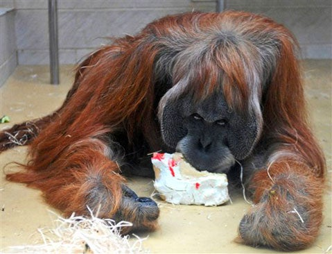 Happy 50th Birthday, Orangutan Charly!