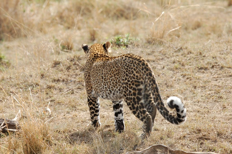 Out of Africa. More Leopards.