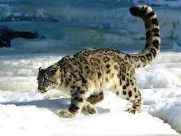 Caturday - Panthera uncia Edition