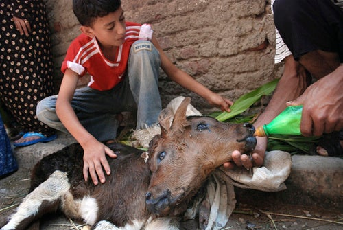 Two-Headed Calf Born in Egypt Expected to Survive