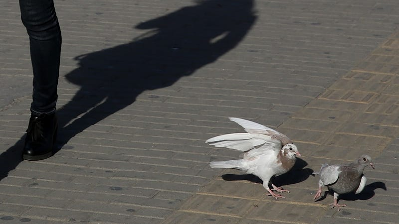 A Serial Pigeon Throttler Is Stalking the Erudite Streets of Cambridge