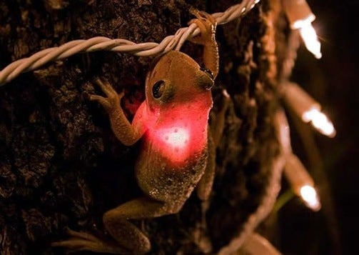 Glowing Cuban Tree Frogs Have Invaded Southern Florida