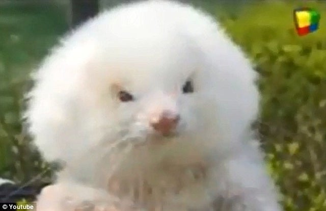 Guy Tries to Buy Toy Poodles, Gets Fluffy, Steroid-Pumped Giant Ferrets Instead