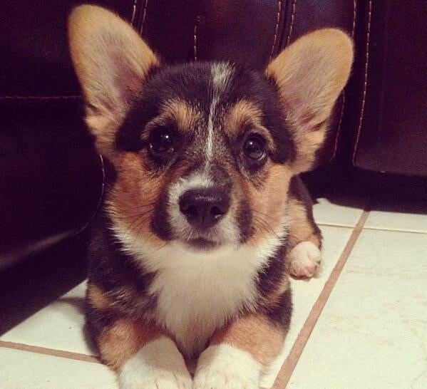 Did I hear Oppo Loves Corgis?