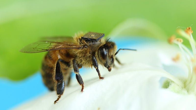 Australia Is Outfitting Thousands of Bees With Tiny Tracking Backpacks