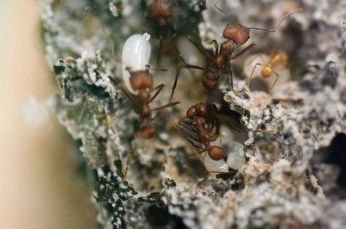 Emory Ants