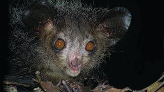 Studying Aye-Ayes in Madagascar