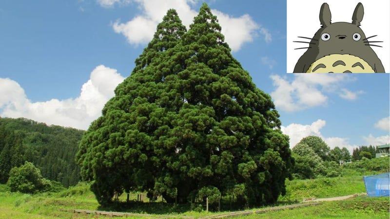 Ezeréves japán fa néz ki rajzfilmhősnek
