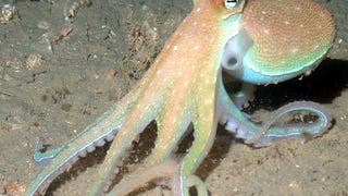 There May Be A Disease That Makes An Octopus Eat Its Own Arms