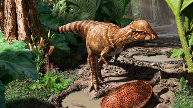 This may be the oldest dome-headed dinosaur ever discovered