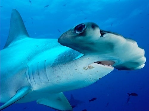 Hammerhead Sharks Are So Weird, and Other Science News