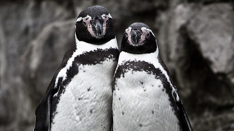 Comment of the Day: The Penguins v. Toronto Zoo