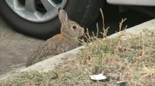 Car-Eating Rabbits Invade Denver Airport
