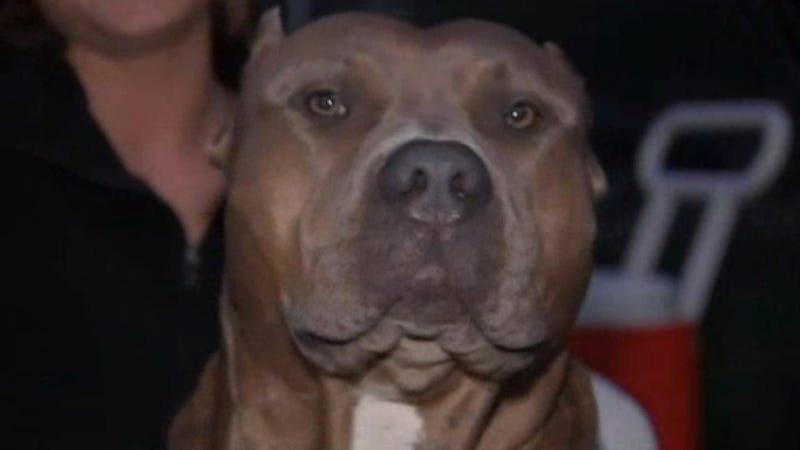 Pit Bulls Get Good PR After Pit Bull Saves Woman from House Fire