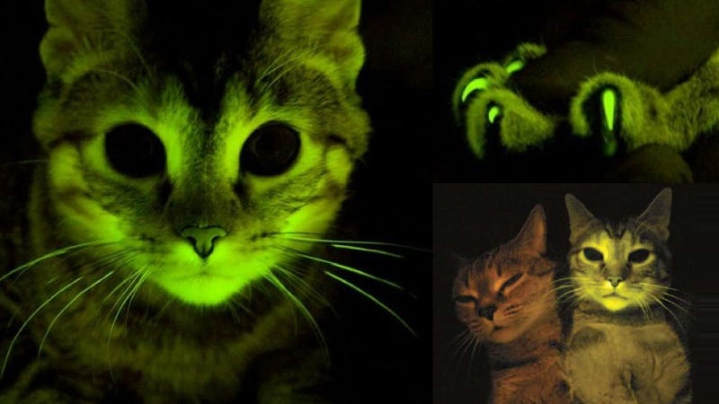 This Glowing Kitten May Hold the Key For AIDS Vaccine