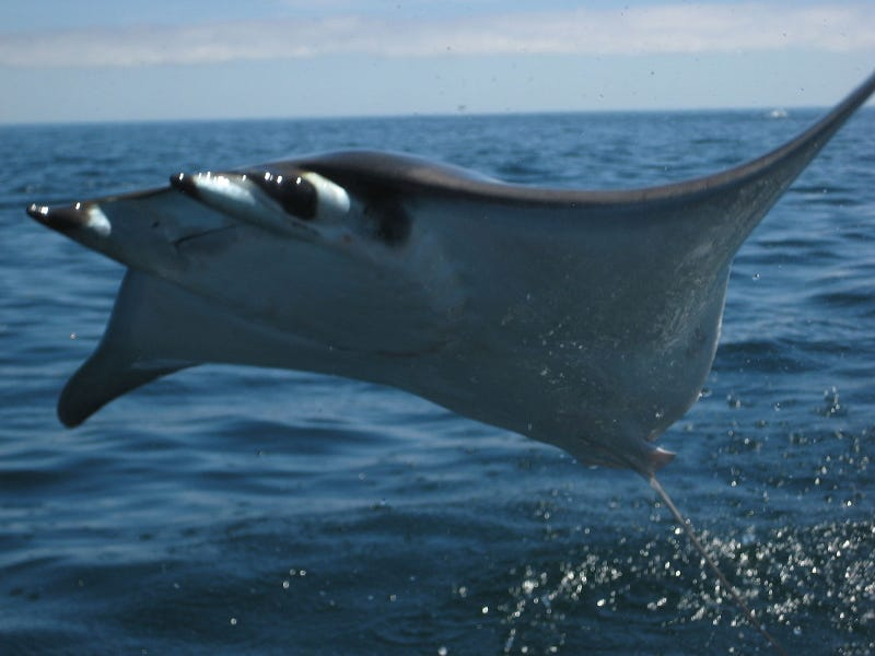 Hundreds of flying rays is one beautiful nightmare