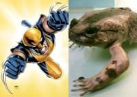 Don't Piss off the Wolverine Frog, Unless you Want to Taste its Claws