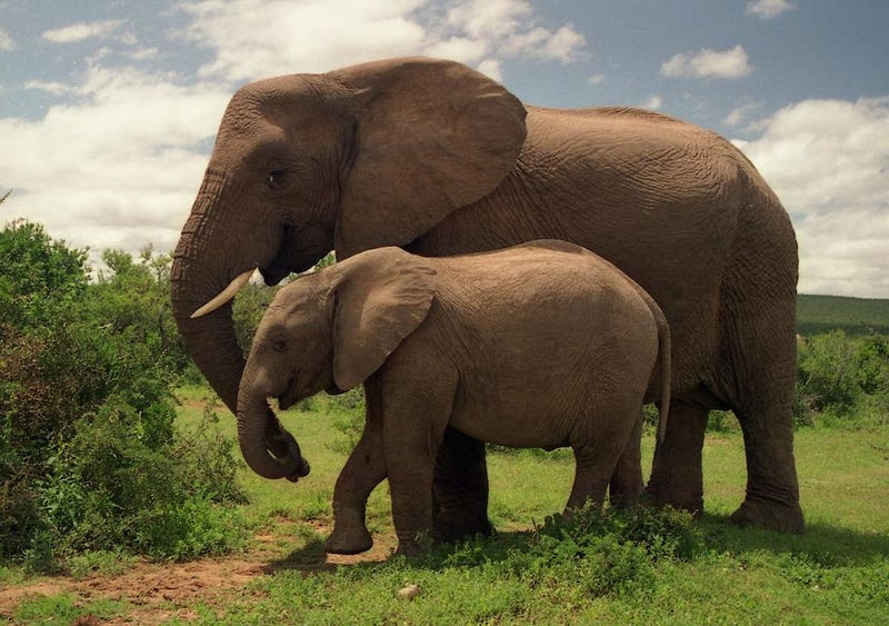 Why Elephants Can Recognize Human Voices