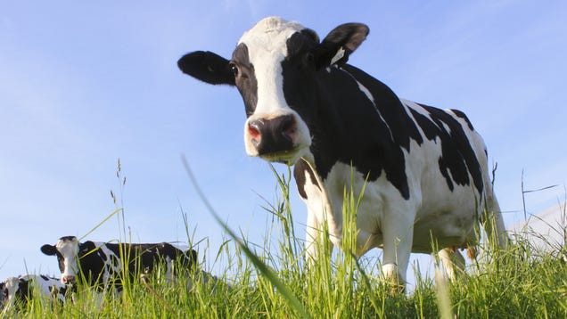 Cows With Human Chromosomes Can Now Make Human Antibodies
