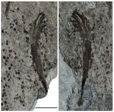 600 million-year-old fossils reveal catastrophic oxygen loss on ancient Earth