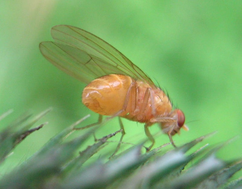 Frozen fruit fly larva brings us one step closer to cryogenics