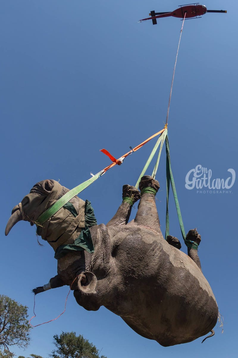 The Best Way To Transport A Rhino? Upside Down, Tied to a Helicopter