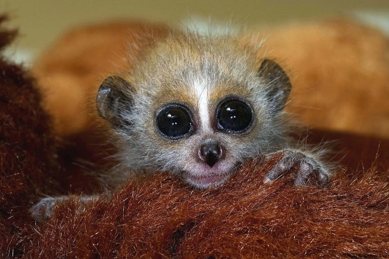This Slow Loris Could Predict the Weather Better Than Farmer's Almanac