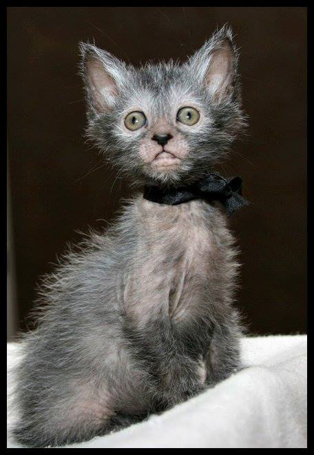 The internet's new cat obsession: Werewolf Cats