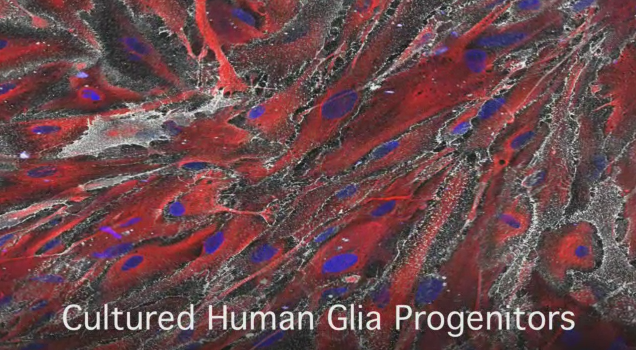 Scientists Enhance Intelligence of Mice with Human Brain Cells