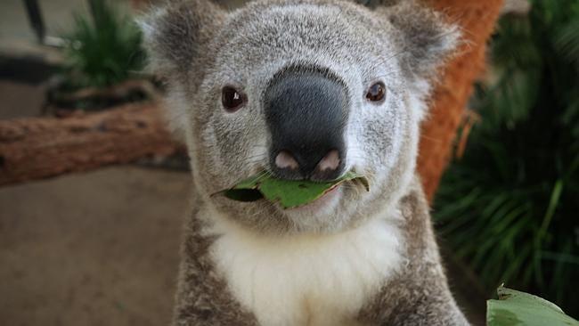Koala Selfies Threaten Humanity With Overdose Of Cuteness