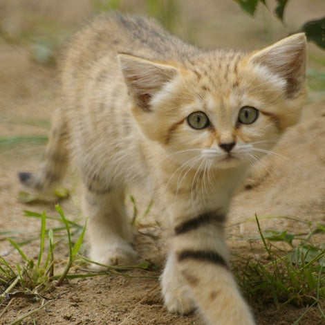 Caturday - Felis margarita Edition